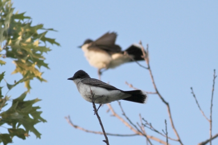 Eastern Kingbird-0273