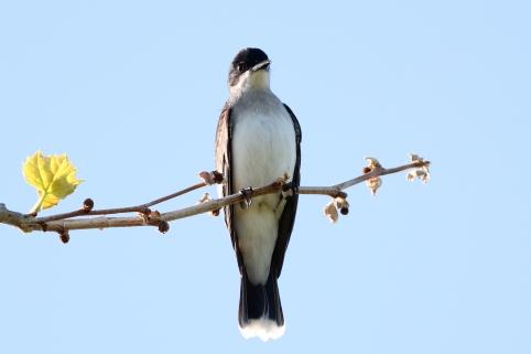 Eastern Kingbird-0378