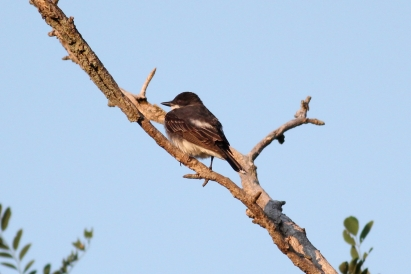 Eastern Kingbird-4748
