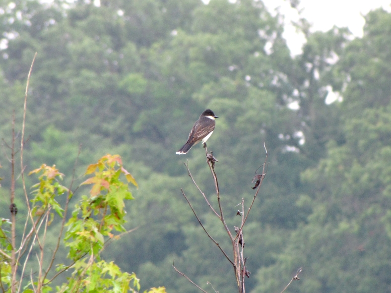 Eastern Kingbird-6645