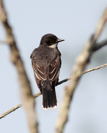 Eastern Kingbird-9525
