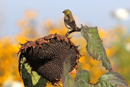 American Goldfinch at Bartlett's Farm