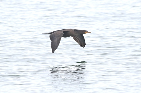 Double-crested Cormorant at Great Point
