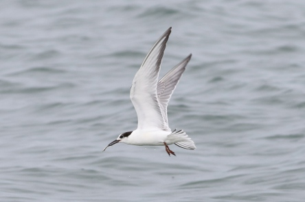 Common Tern with catch, Great Point