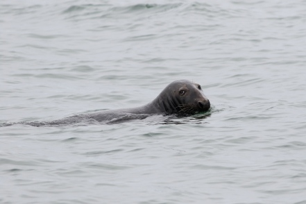Grey Seal off Great Point