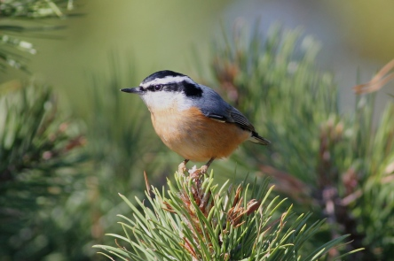 Red Breasted Nuthatch at Hummock Pond