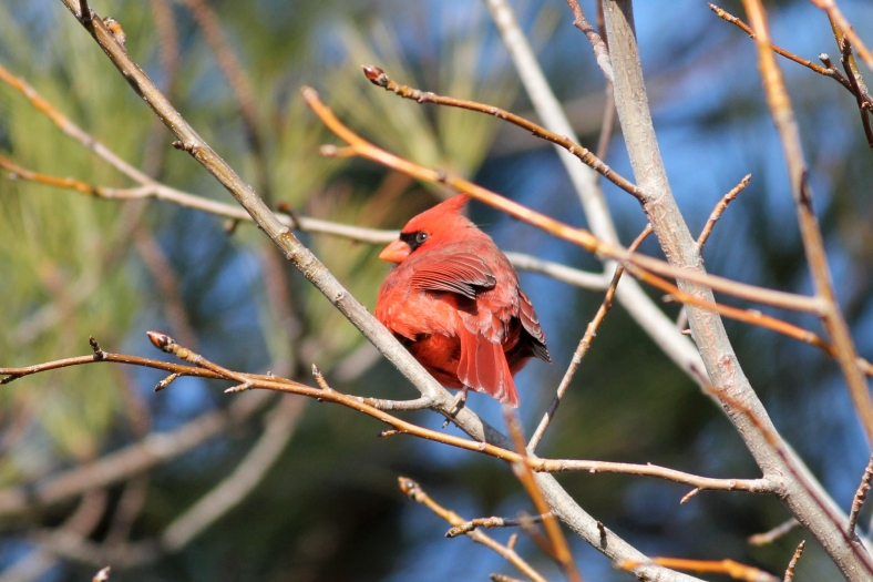 Northern Cardinal, (the post just needed a little more color)