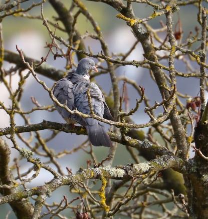 Wood Pigeon,