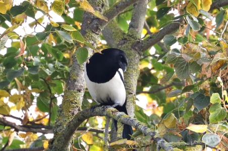 Magpie, despite being large & loud, I had a difficult time getting a good shot of this bird