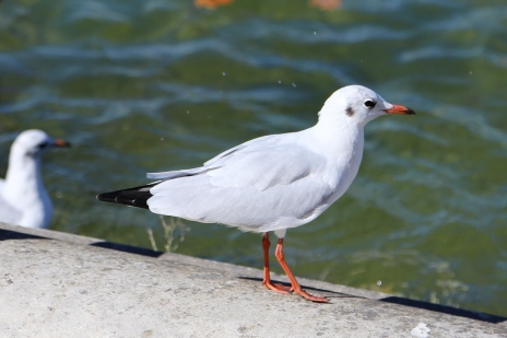 Black-headed Gull at Place de la Concorde