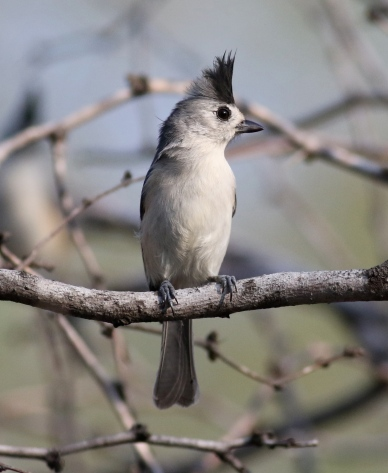 Black-tufted Titmouse