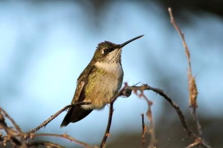 Buff-bellied Hummingbird, (I think), Amazilia yucatanensis