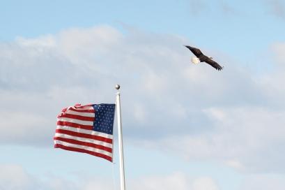 Bald Eagle-7044