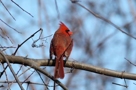 Northern Cardinal 2173