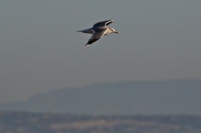 Welcoming coast gull