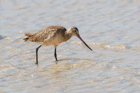 Marbled Godwit, photo by A. Sternick at Bunche Beach