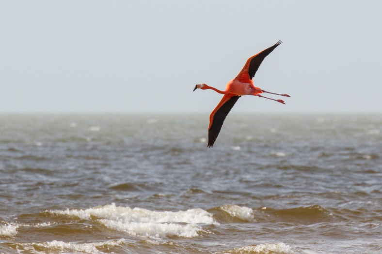 Greater Flamingo, photo by A. Sternick at Bunche Beach