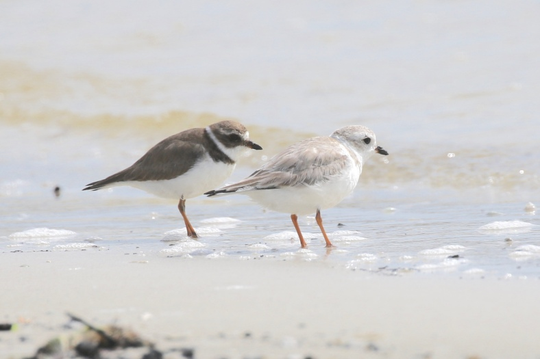 Semipalmated & Piping Plovers
