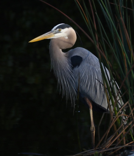 Great Blue Heron, sorry, no picture of the White Morph yet
