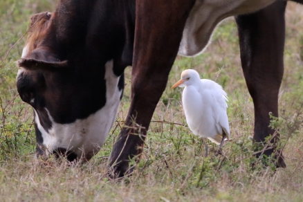 Cattle Egret; what's your first clue?