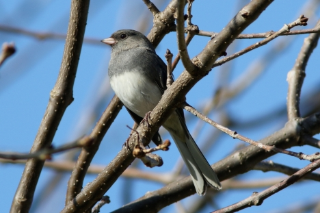 Dark-eyed Junco, AKA Snowbird