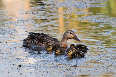 Mottled Duck & Ducklings