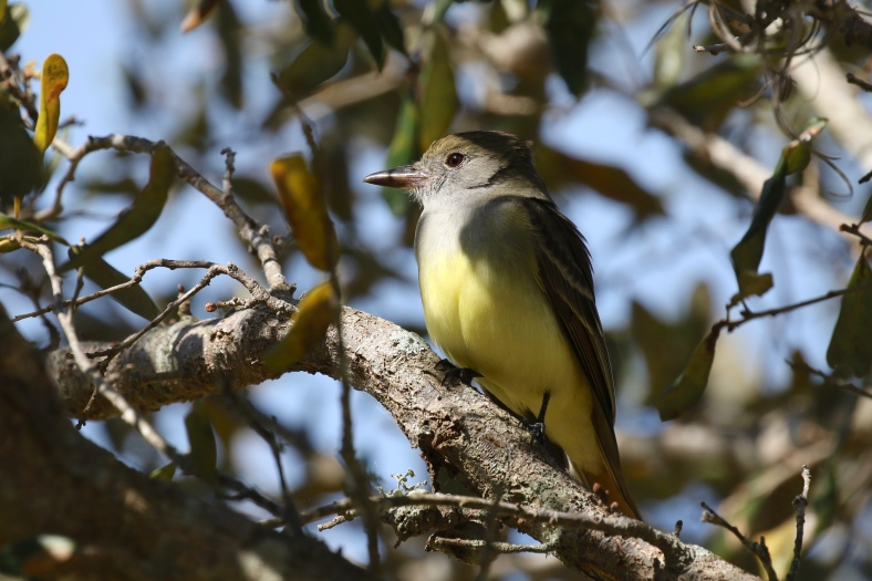 Great-crested Flycatcher, Myiarchus crinitus