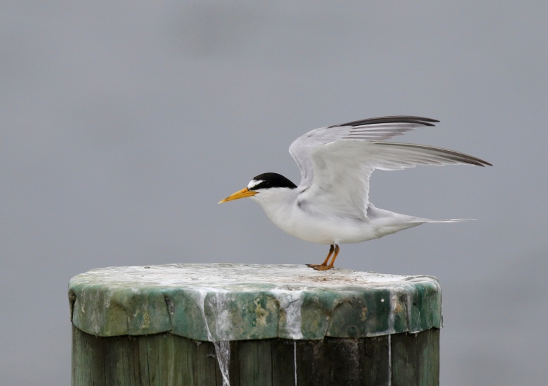Least Tern, Sterna antillarum