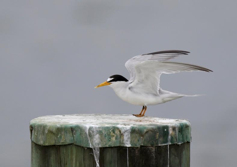 Least Tern, Sterna antillarum