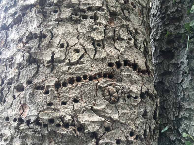 The neat Sapsucker rows; apparently it doesn't harm the tree