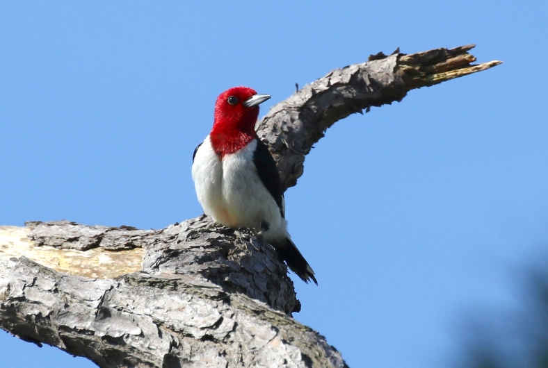 Red-headed WP