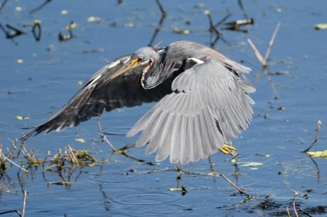 Tricolored-heron